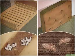Tại sao rệp giường lại đáng sợ? 1