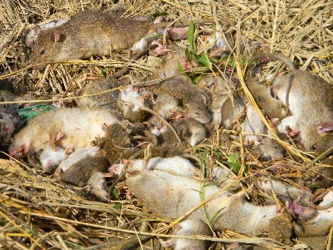 Cách diệt chuột tận gốc bằng bã sinh học khiến chuột chết hàng loạt