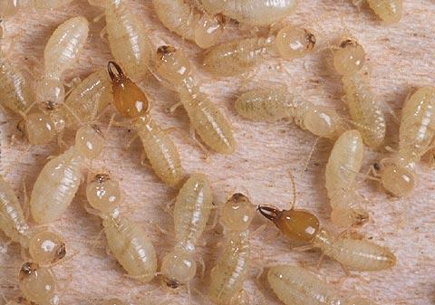 Tìm hiểu tập tính sinh học của mối Coptotermes formosanus