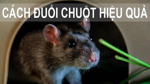 Hướng dẫn cách đuổi chuột bằng tinh dầu bạc hà